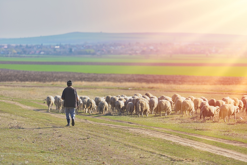 El cuidado del pastor es esencial para el bienestar de nuestros animales en las granjas García Baquero